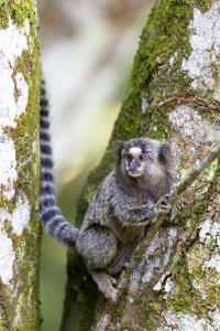 Brazil, Sao Paulo. Common Marmosets in the Trees by Ellen Goff