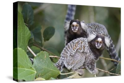 Brazil, Sao Paulo, Common Marmosets in the Trees