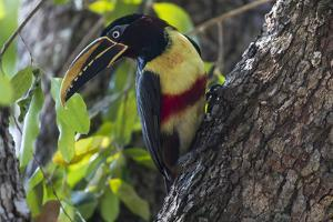 Brazil, The Pantanal. Portrait of a chestnut-eared aracari on a tree trunk. by Ellen Goff