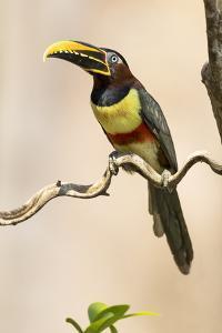 Brazil, The Pantanal. Portrait of a chestnut-eared aracari sitting on a vine. by Ellen Goff