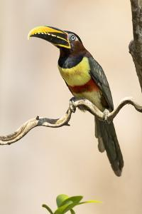 Brazil, The Pantanal. Portrait of a chestnut-eared aracari sitting on a vine. by Ellen Goff