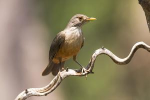 Brazil, The Pantanal. Portrait of a rufous-bellied thrush on a vine. by Ellen Goff