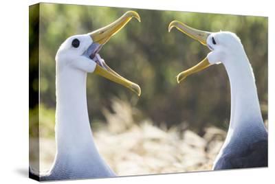 Ecuador, Galapagos Islands, Espanola, Punta Suarez,. Waved Albatrosses Interacting