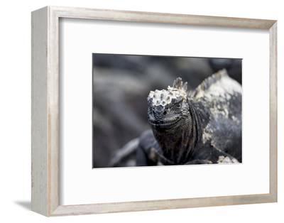 Ecuador, Galapagos Islands, Fernandina, Punta Espinoza. Marine Iguana Head Portrait