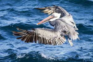 Ecuador, Galapagos Islands, North Seymour Island, Brown Pelican Flying by Ellen Goff
