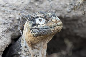 Ecuador, Galapagos Islands, Plaza Sur, Land Iguana,. Female Land Iguana at the Mouth of Her Den by Ellen Goff