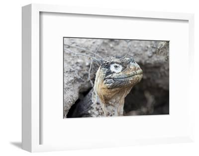 Ecuador, Galapagos Islands, Plaza Sur, Land Iguana,. Female Land Iguana at the Mouth of Her Den