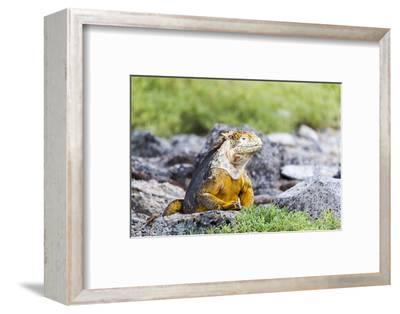 Ecuador, Galapagos Islands, Plaza Sur, Land Iguana,. Male Land Iguana Portrait