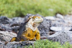 Ecuador, Galapagos Islands, Plaza Sur, Land Iguana,. Male Land Iguana Portrait by Ellen Goff