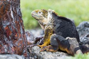 Ecuador, Galapagos Islands, Plaza Sur, Male Land Iguana by Ellen Goff