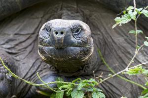 Ecuador, Galapagos Islands, Santa Cruz Highlands. Face of a Wild Galapagos Giant Tortoise by Ellen Goff