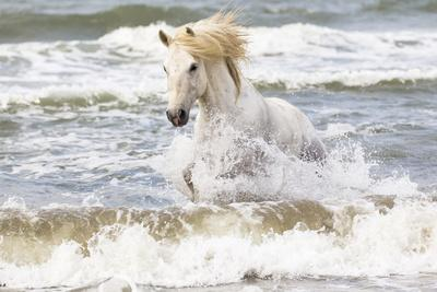 France, The Camargue, Saintes-Maries-de-la-Mer. Camargue horse in the Mediterranean Sea.