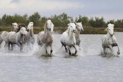 France, The Camargue, Saintes-Maries-de-la-Mer. Camargue horses running through water.