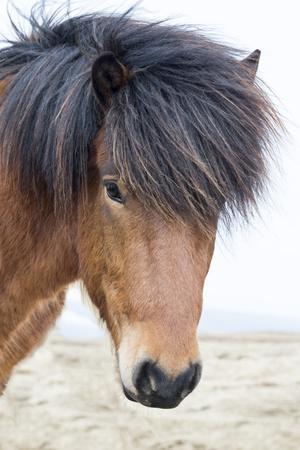 Iceland, Akureyri. Icelandic horse portrait.
