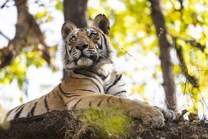 India, Madhya Pradesh, Bandhavgarh National Park. Young Bengal tiger watching from perch on a rock. by Ellen Goff