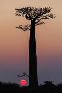 Madagascar, Morondava. Baobab trees are silhouetted against the morning sky. by Ellen Goff