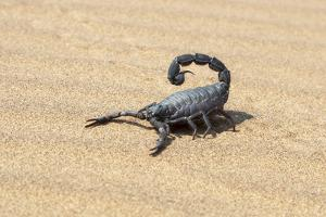 Namibia, Swakopmund. Black scorpion moving across the sand. by Ellen Goff