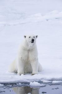 Norway, Svalbard, Pack Ice, Female Polar Bear by Ellen Goff