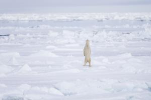 Norway, Svalbard, Pack Ice, Polar Bear Standing by Ellen Goff