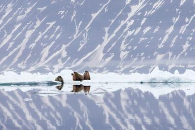 Norway, Svalbard, Pack Ice, Walrus on Ice Floes by Ellen Goff