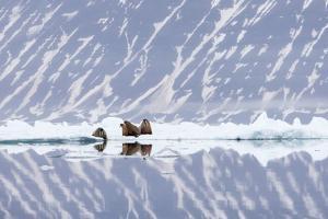 Norway, Svalbard, Pack Ice, Walrus on Ice Floes by Ellen Goff