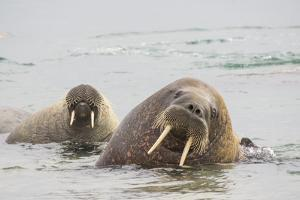 Norway, Svalbard, Walrus in Water by Ellen Goff