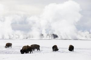 Usa, Wyoming, Yellowstone National Park. Bison in winter snow pack. by Ellen Goff