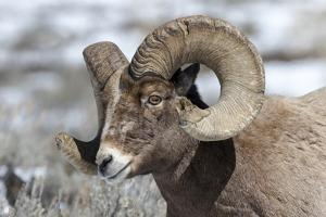 Wyoming, Yellowstone NP. Headshot of a bighorn sheep who has rubbed off the ends of its horns by Ellen Goff
