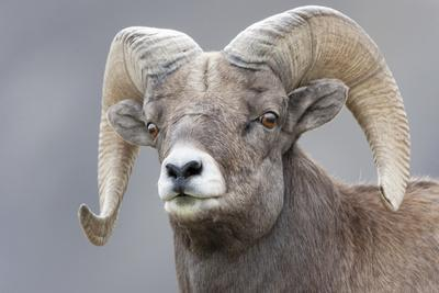 Yellowstone National Park. Portrait of a bighorn ram.