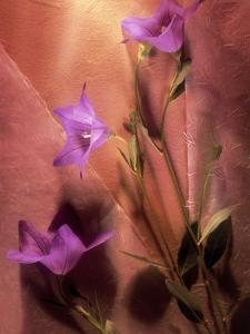 Purple Balloon Flowers by Ellen Kamp