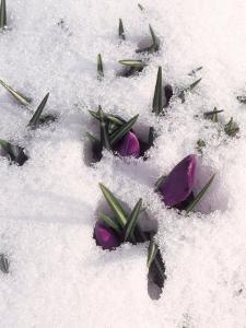 Purple Flowers in Snow by Ellen Kamp