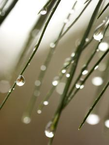 Rain Drops on Pine Branch Needles by Ellen Kamp