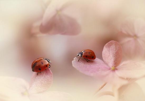 ellen-van-deelen-ladybirds-on-pink-hydrangea