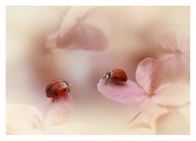 Ladybirds On Pink Hydrangea.