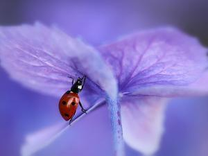 Ladybird on Purple Hydrangea by Ellen Van