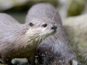 Asian Short Clawed Otters, Playing in a Rockpool, Earsham, UK by Elliot Neep