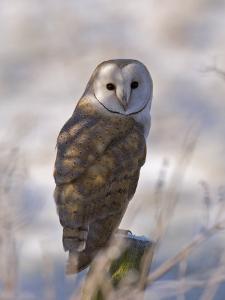 Barn Owl, Full-Frame Portrait of Barn Owl Perched on Fence Post, Lancashire, UK by Elliot Neep