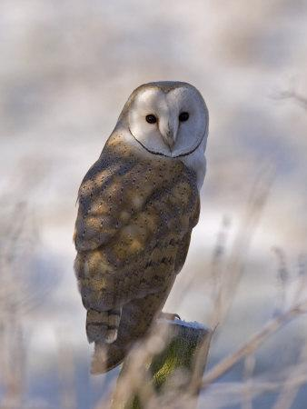Barn Owl, Full-Frame Portrait of Barn Owl Perched on Fence Post, Lancashire, UK