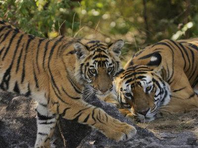 Bengal Tiger, 6 Month Old Cub and Tigress, Madhya Pradesh, India