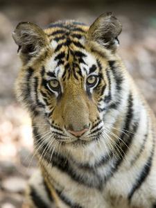 Bengal Tiger, Close-up Portrait of Female Tiger, Madhya Pradesh, India by Elliot Neep