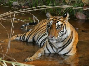 Bengal Tiger, Female Lying in Water, Madhya Pradesh, India by Elliot Neep