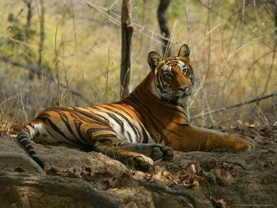 Bengal Tiger, Female Resting, Madhya Pradesh, India