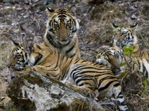Bengal Tiger, Four One-Year-Old Tiger Cubs Together on Rocks, Madhya Pradesh, India by Elliot Neep