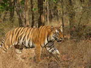 Bengal Tiger, Male Walking in Grass, Madhya Pradesh, India by Elliot Neep