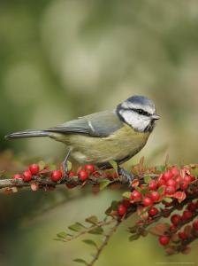 Blue Tit, Perching, Middlesex, UK by Elliot Neep