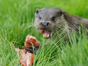 European Otter, Eating Salmon in Grass, Sussex, UK by Elliot Neep