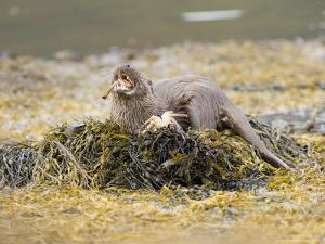 European Otter, Female Eating a Crab on a Seaweed Covered Rock, Scotland by Elliot Neep