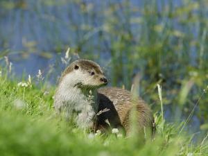 European Otter on Grass Bank Near Water, Sussex, UK by Elliot Neep