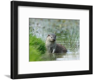 European Otter, Standing in Shallows, Sussex, UK