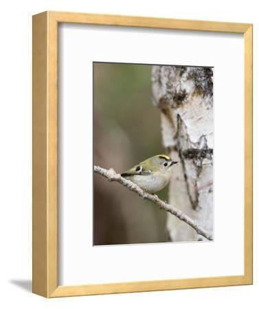 Goldcrest, Perched on Birch Branch with Fly in Bill, Lancashire, UK